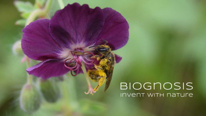"""Kickstarter Kampagne Titelbild, zeigt eine pollenbeladene Biene in einem braunen Storchenschnabel, mit Slogan """"Biognosis - Invent With Nature"""""""
